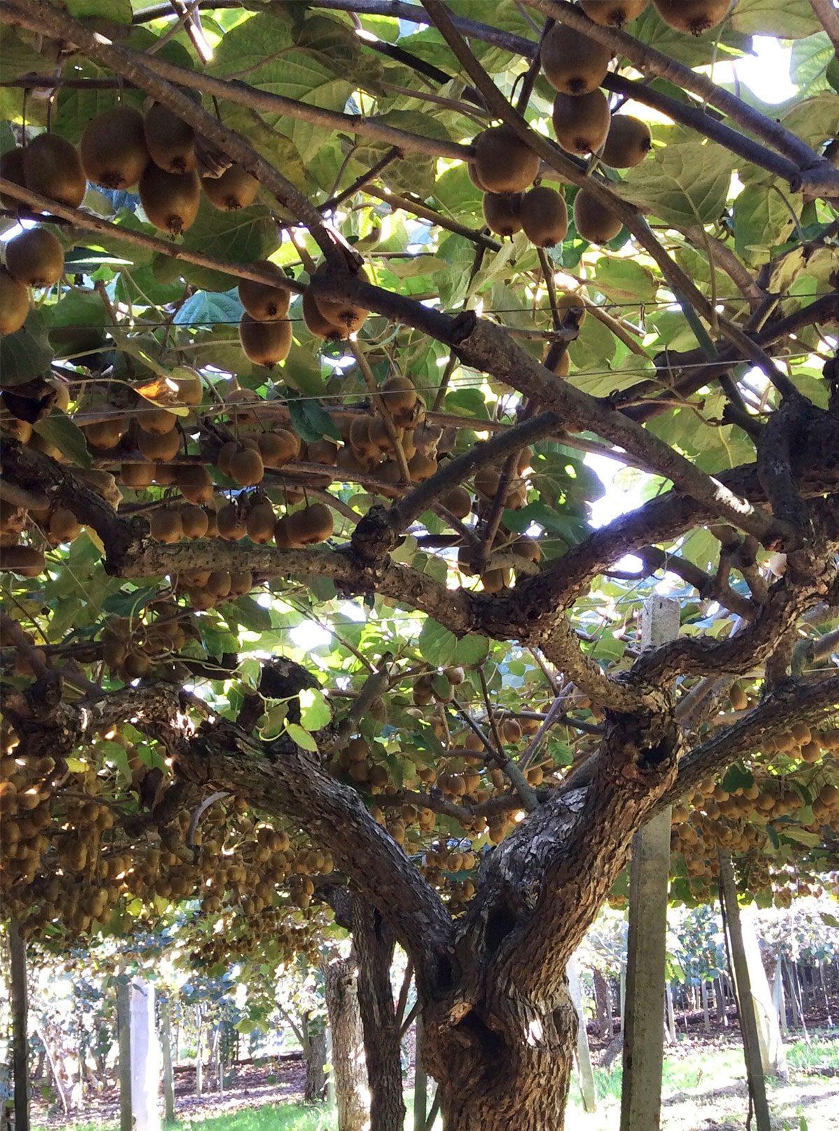 kiwi-parlapiano-biodinamico-territorio